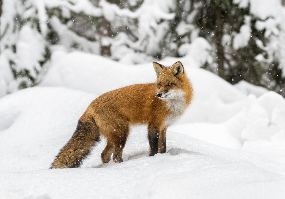 fox edit.jpg