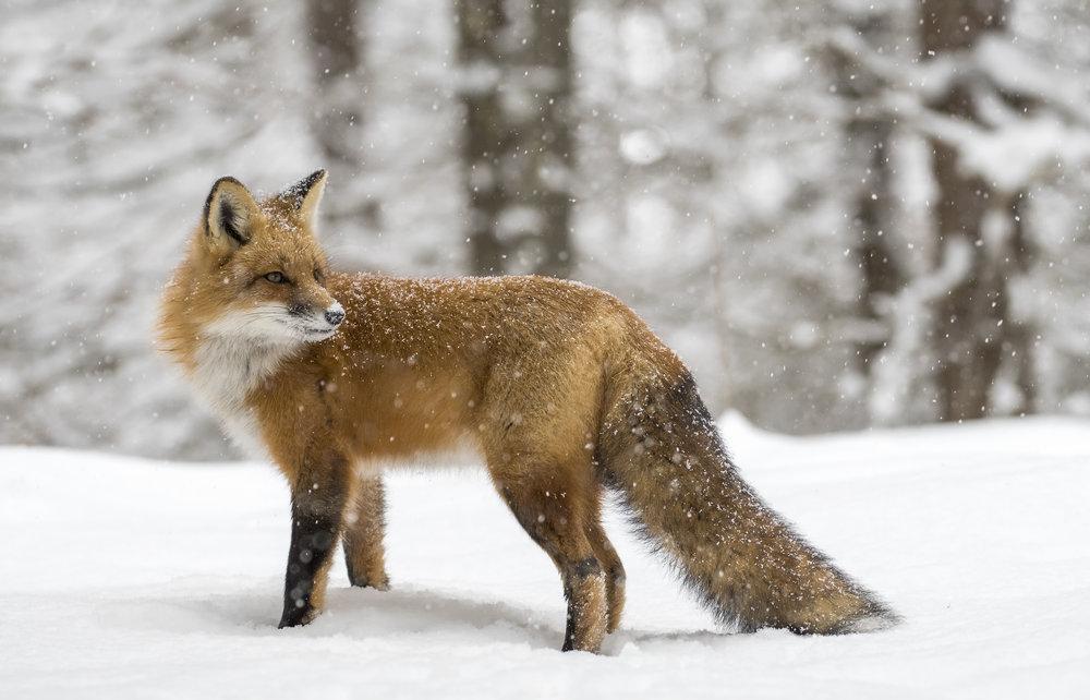 foxy .jpg