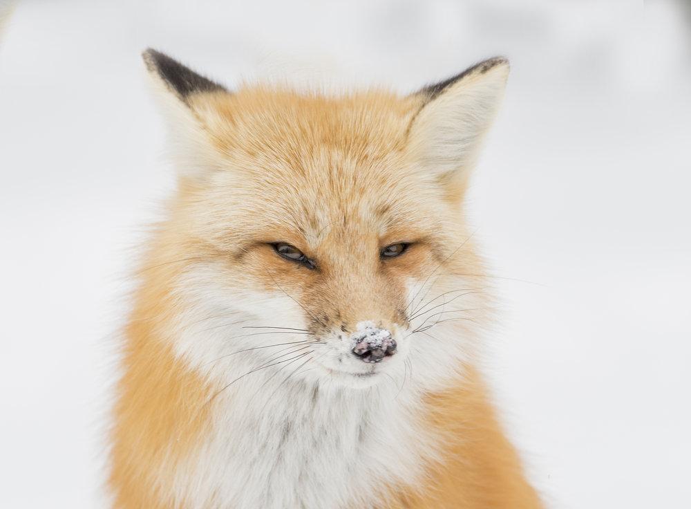 sly fox .jpg