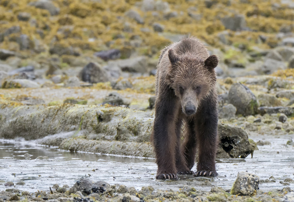 grizzly in the river .jpg