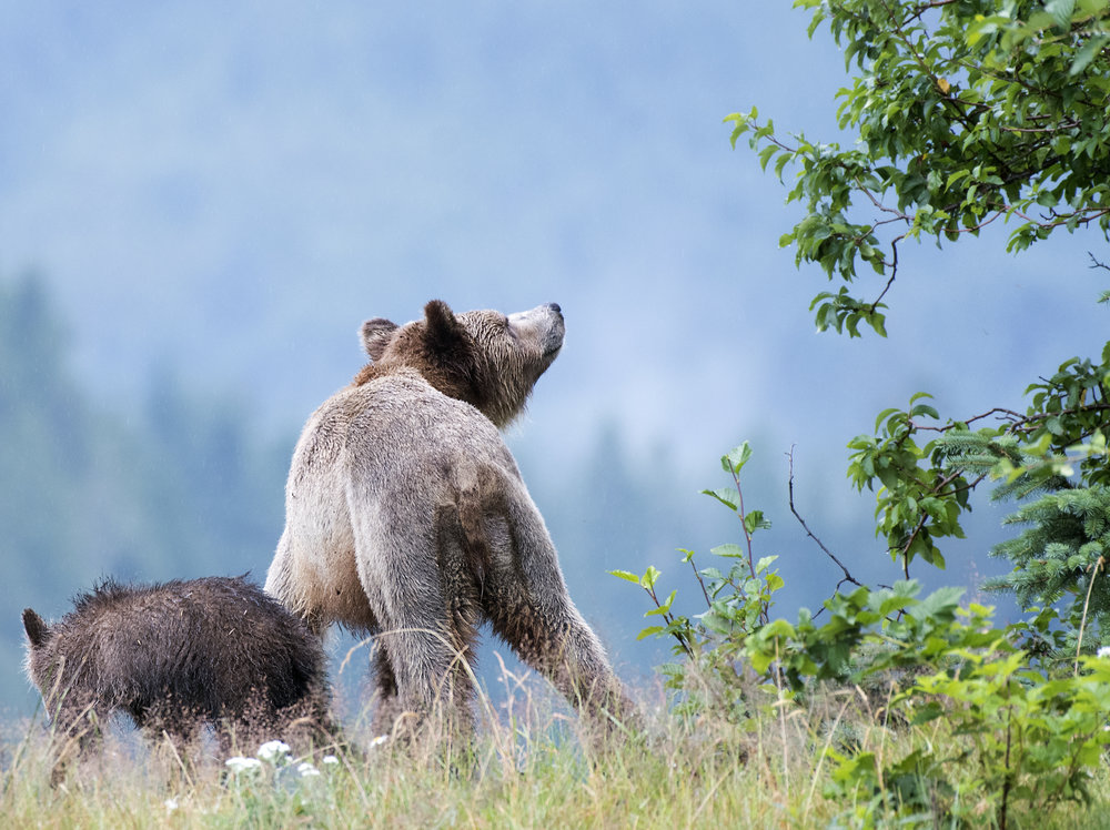 Momma bear smells for threats.jpg