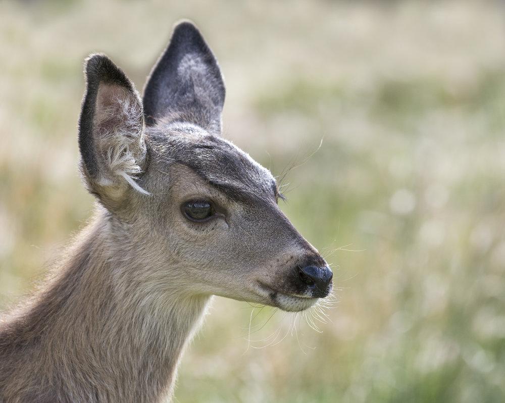 baby deer (2).jpg