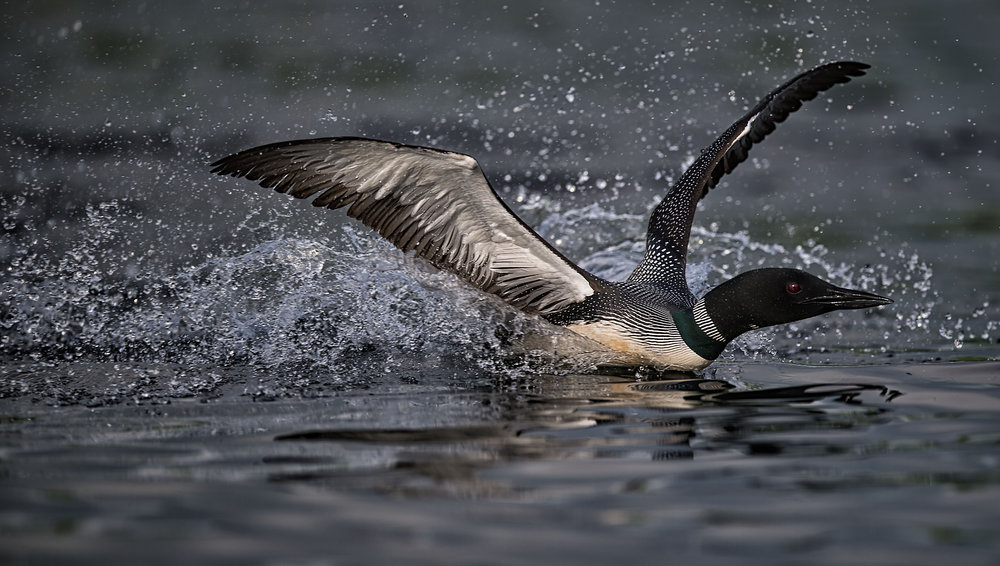 Common loon territorial battle by Kevin K Pepper