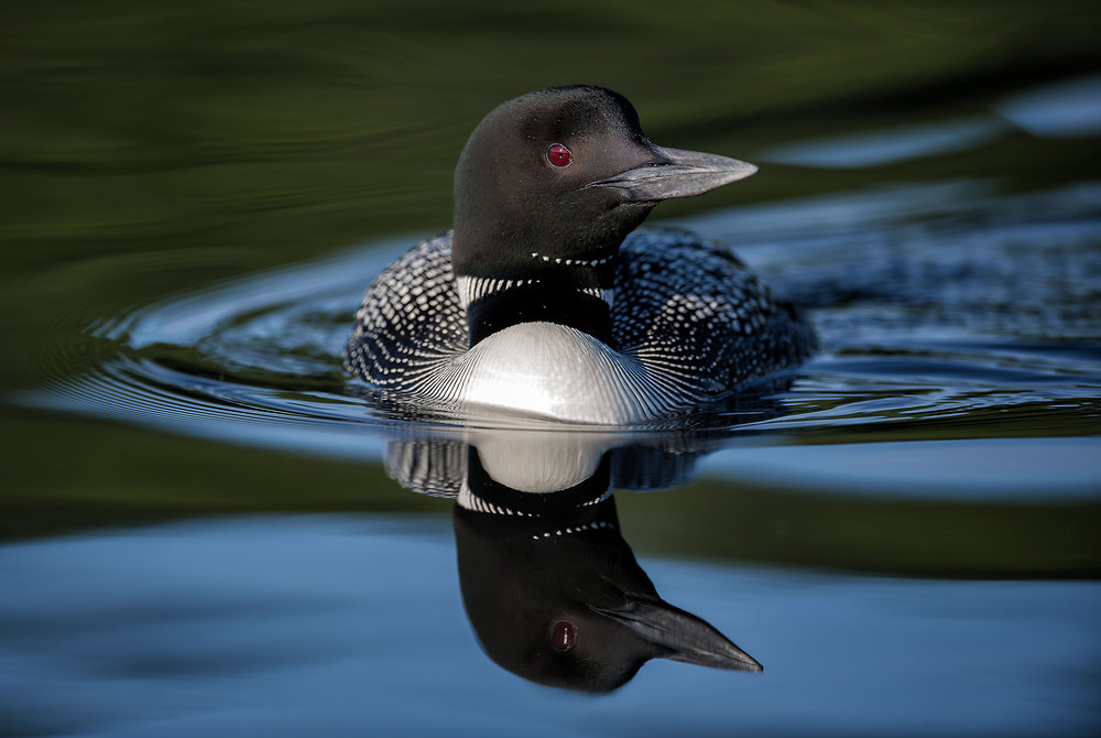 Stunning reflections of a loon by Kevin K Pepper