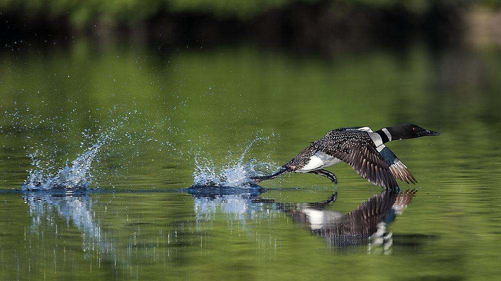 Running Loon by Kevin K Pepper