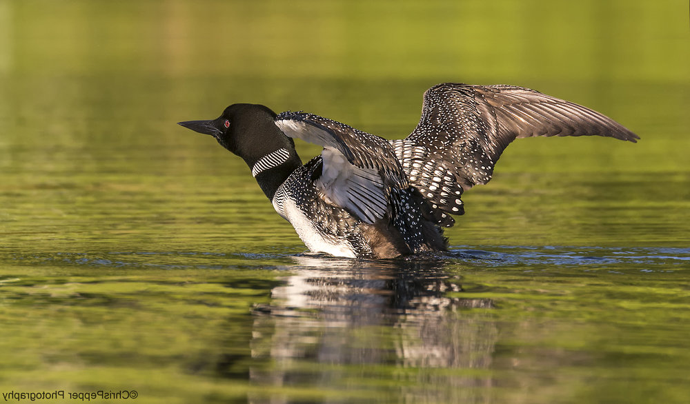 Common Loon going up by Chris Pepper