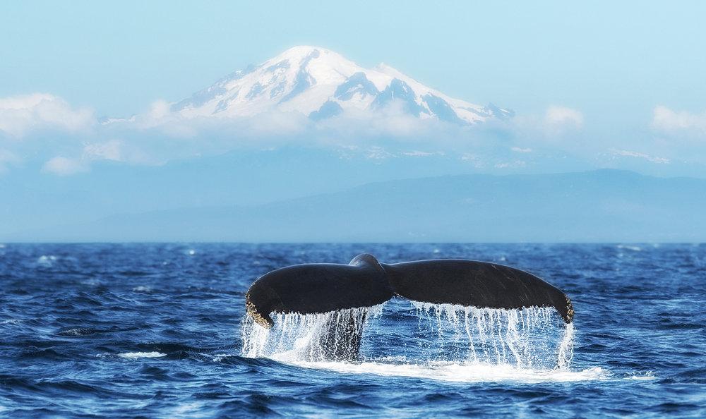 Humpback whale tail BC.jpg