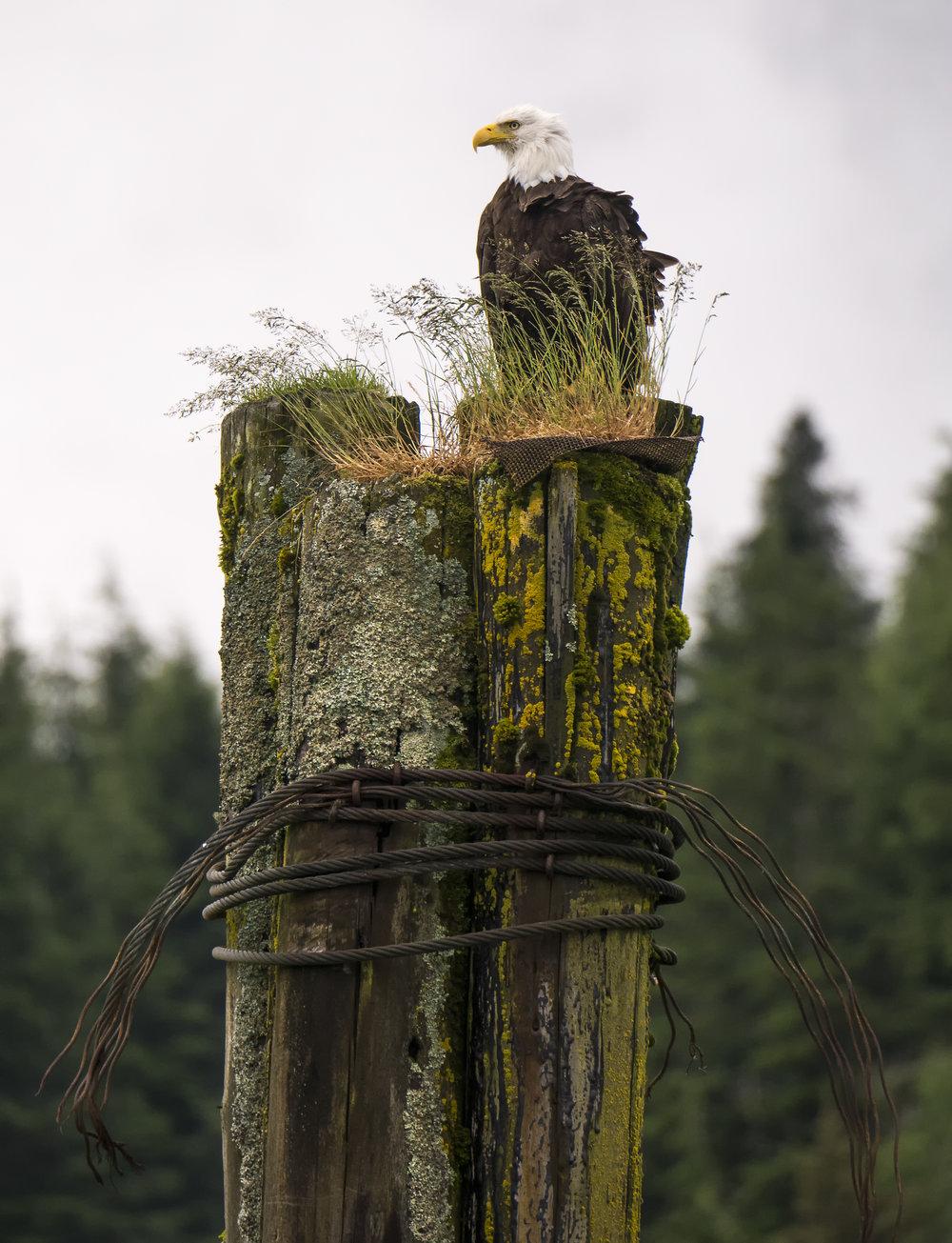 Bald Eagle .jpg