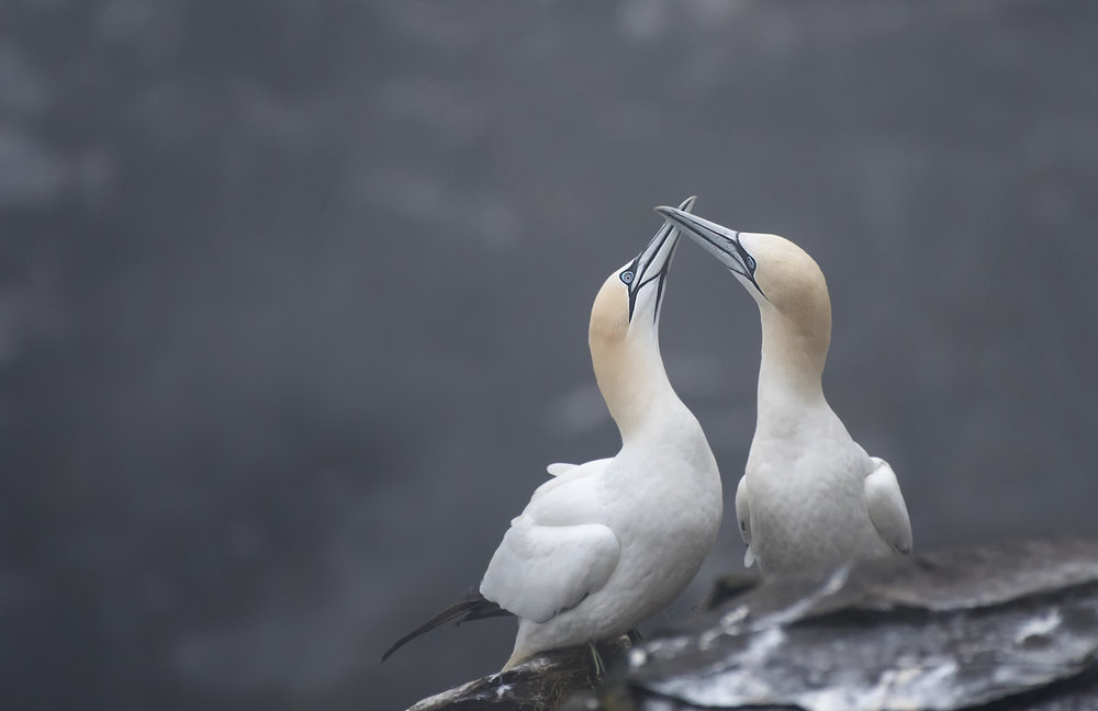 Northern Gannets enjoy each others company by Chris Pepper