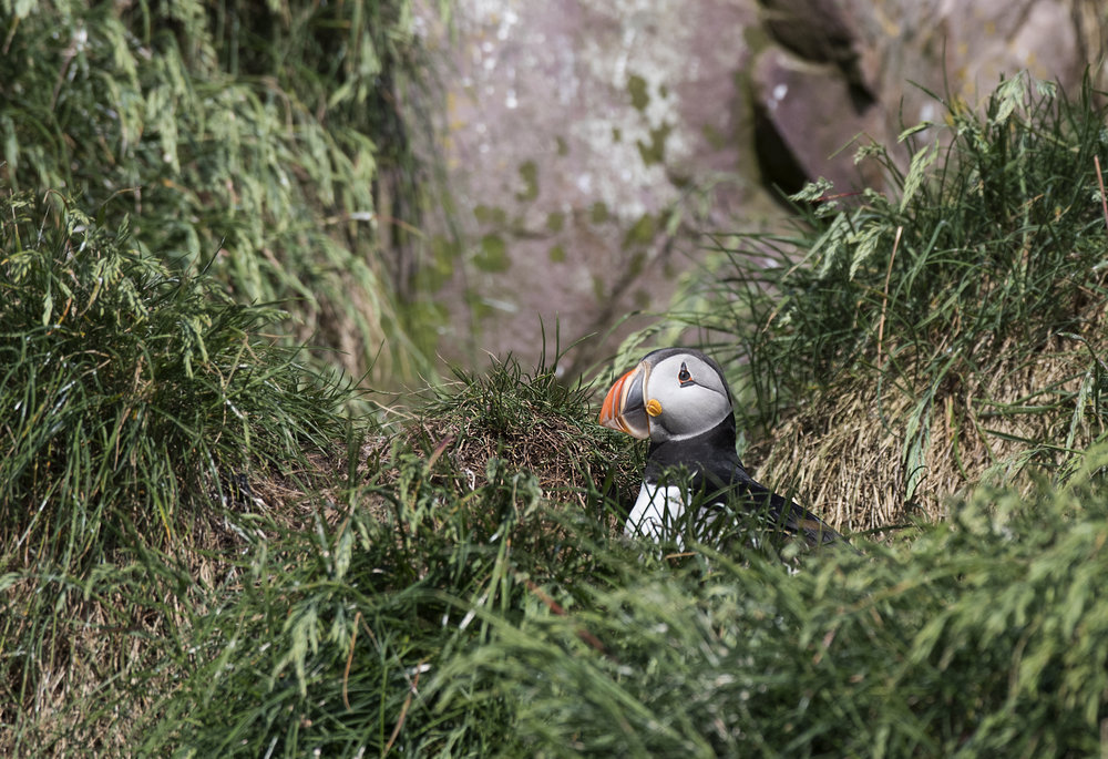Puffin hunkered down in the grass by Chris Pepper