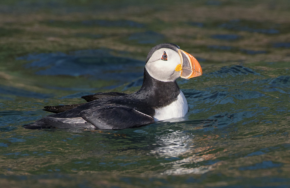 puffin floating in the water.jpg