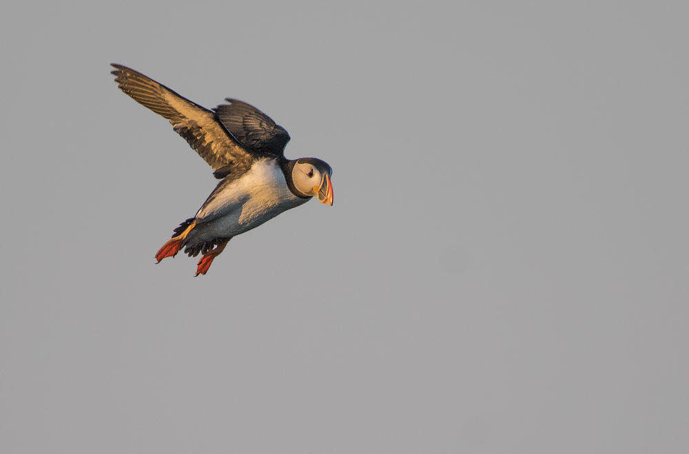 Golden light puffin flyby Chris Pepper