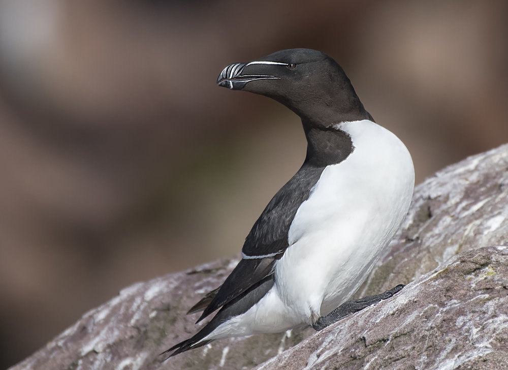 Razor bill on the rocks by Chris Pepper