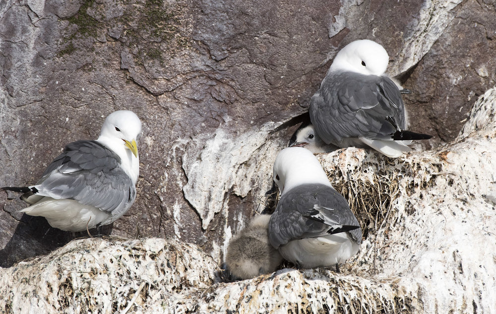 kittiwake and their babies by Chris Pepper