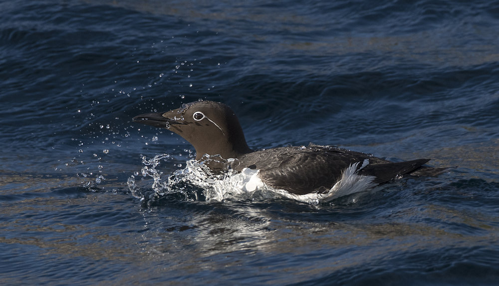 murre in the water by Chris Pepper
