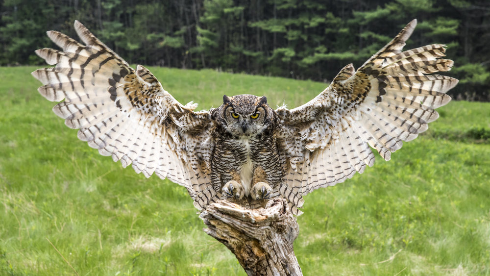 Great horned owl coming in for a landing