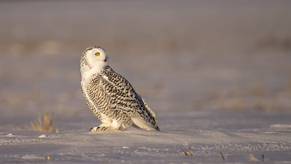 Snowy owl on the mound