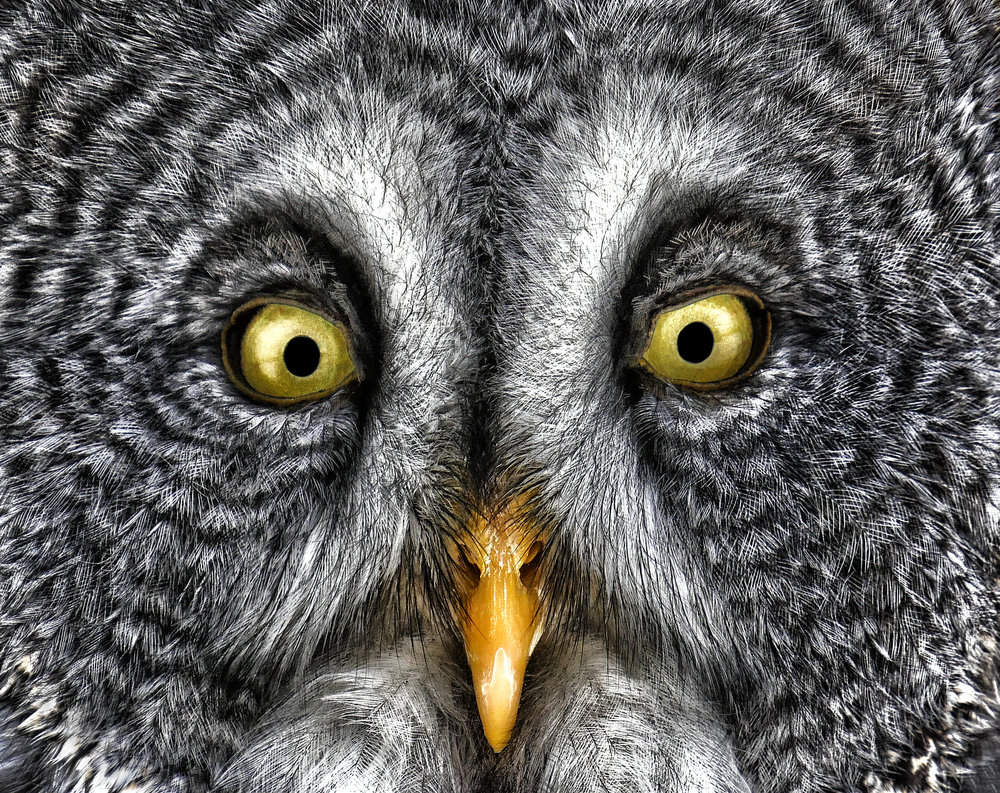 Great grey owl close up