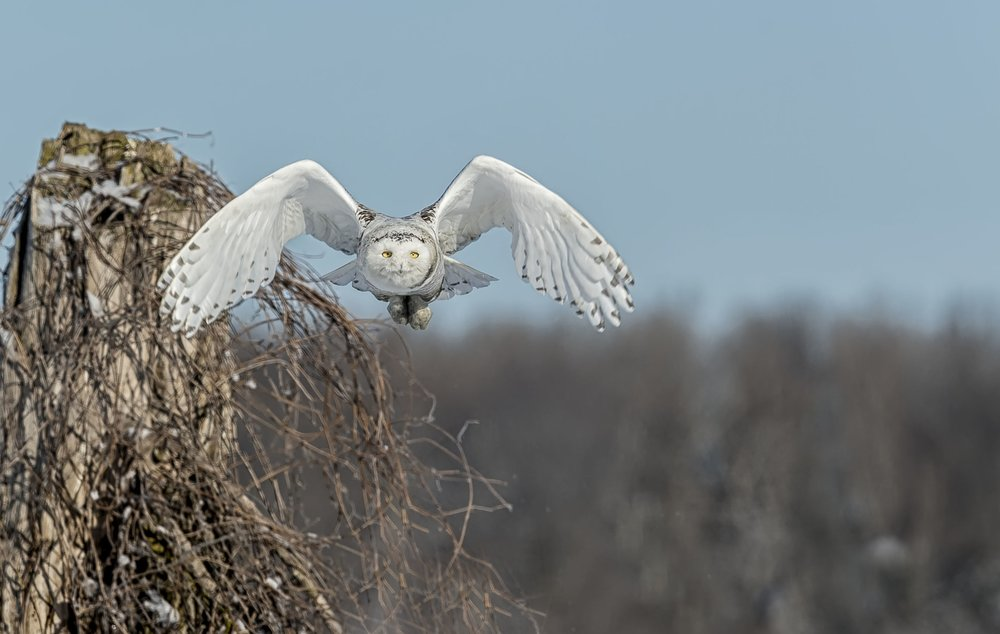 Snowy+Owl+January+20+2015+13.jpg