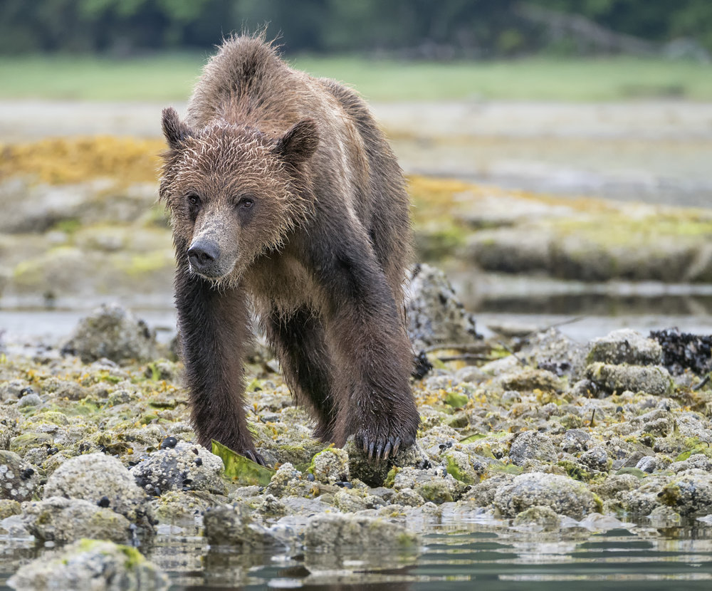 Grizzly bear in BC -