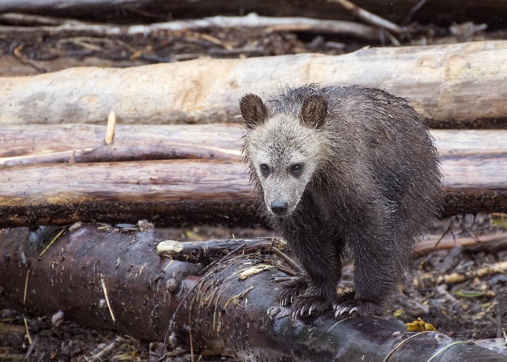cub on a log.jpg