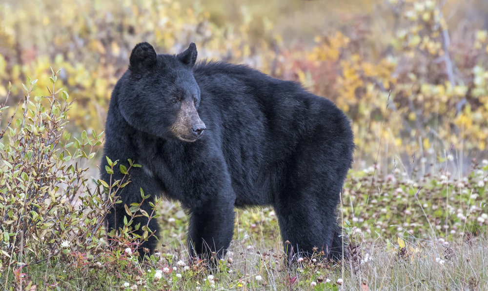 Yukon Black Bear Chris Pepper
