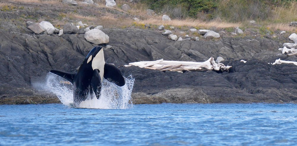 BC Orca Whale Chris Pepper