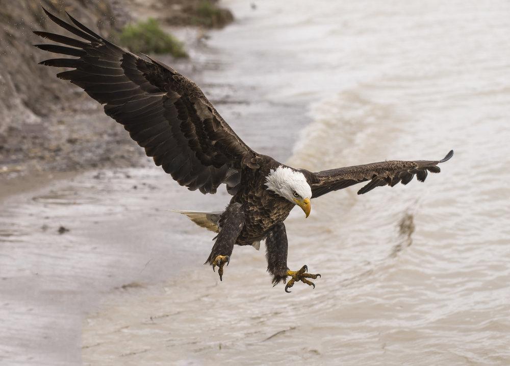 Bald Eagle Photography Workshops Chris Pepper