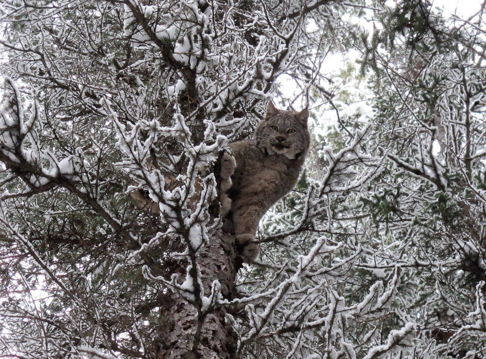 lynx in a tree. North of 49 photography workshops