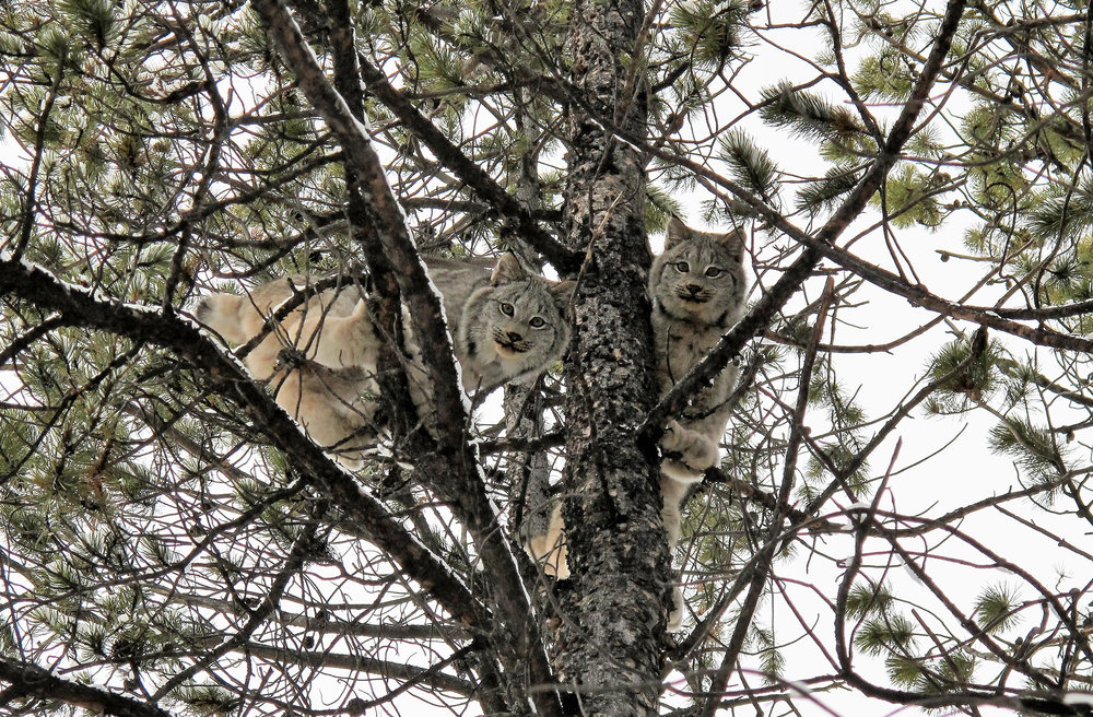 two lynx in a tree.jpg