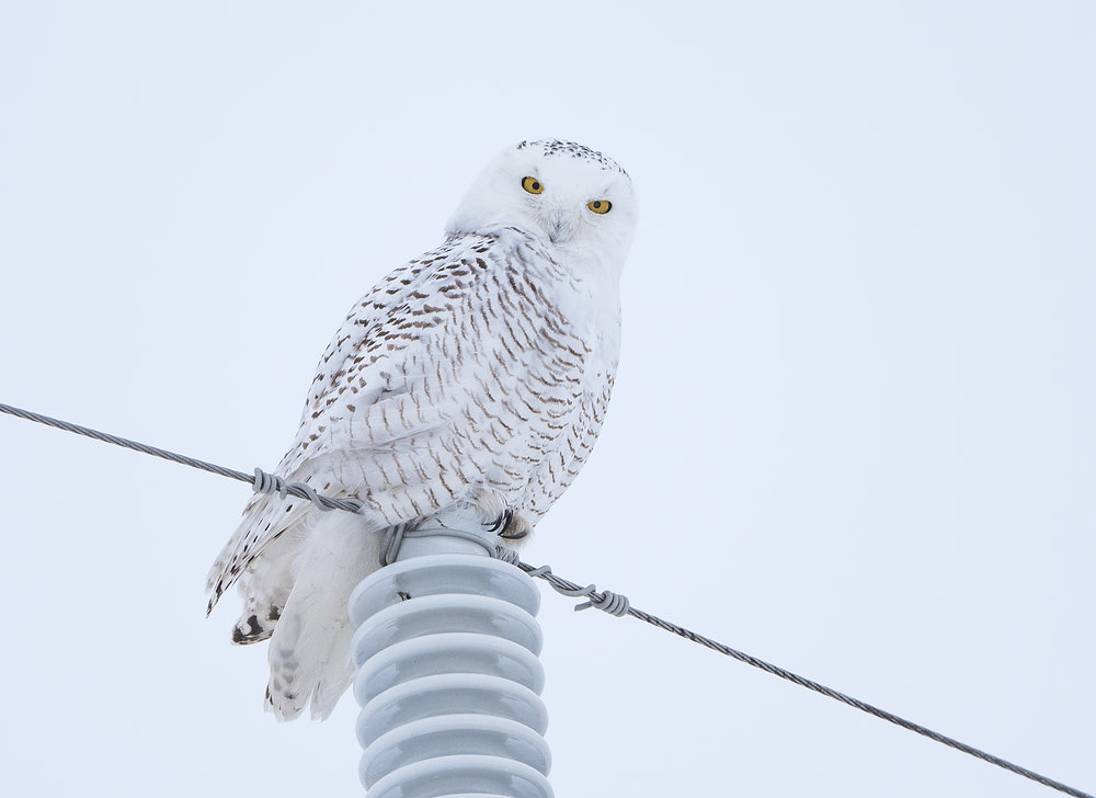 snowy on a pole .jpg