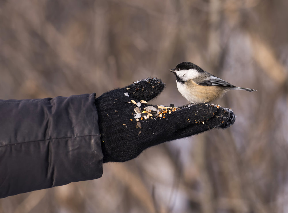 black capped chickadee.jpg