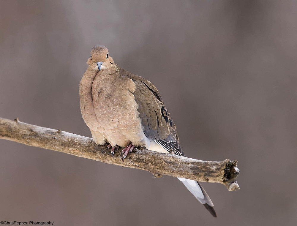morning dove.jpg