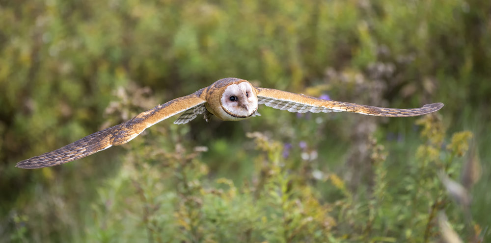 barn owl in flight (2).jpg