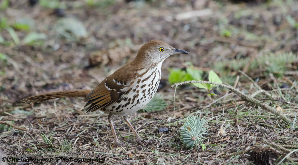 Brown thrasher copy.jpg