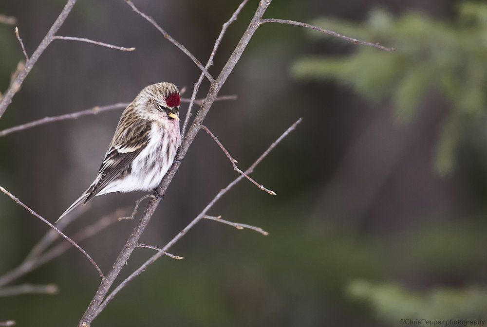 redpoll in a tree.jpg