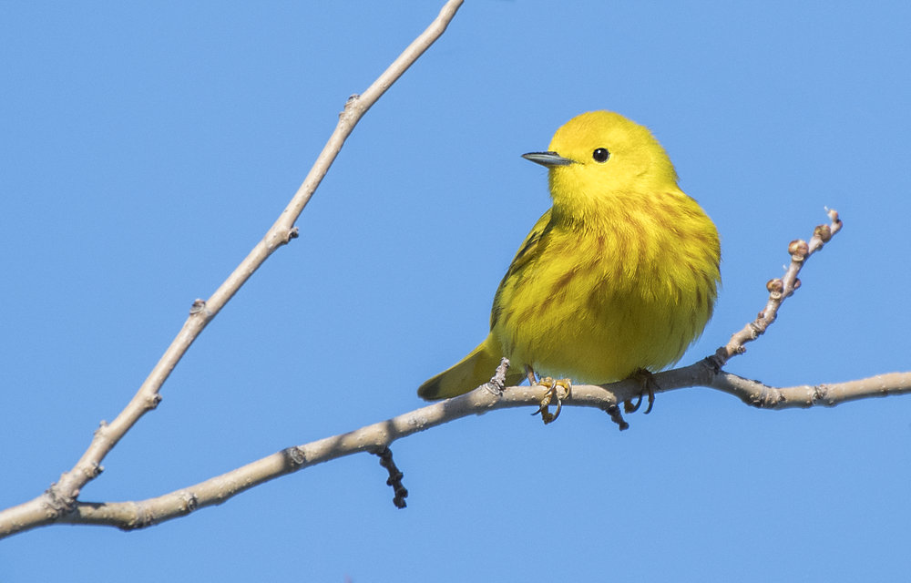 Yellow Warbler on a branch.jpg
