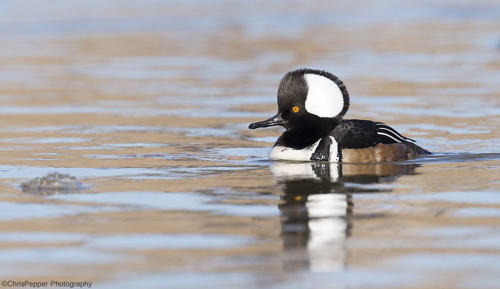 Male Hooded Merganser in the spring copy.jpg
