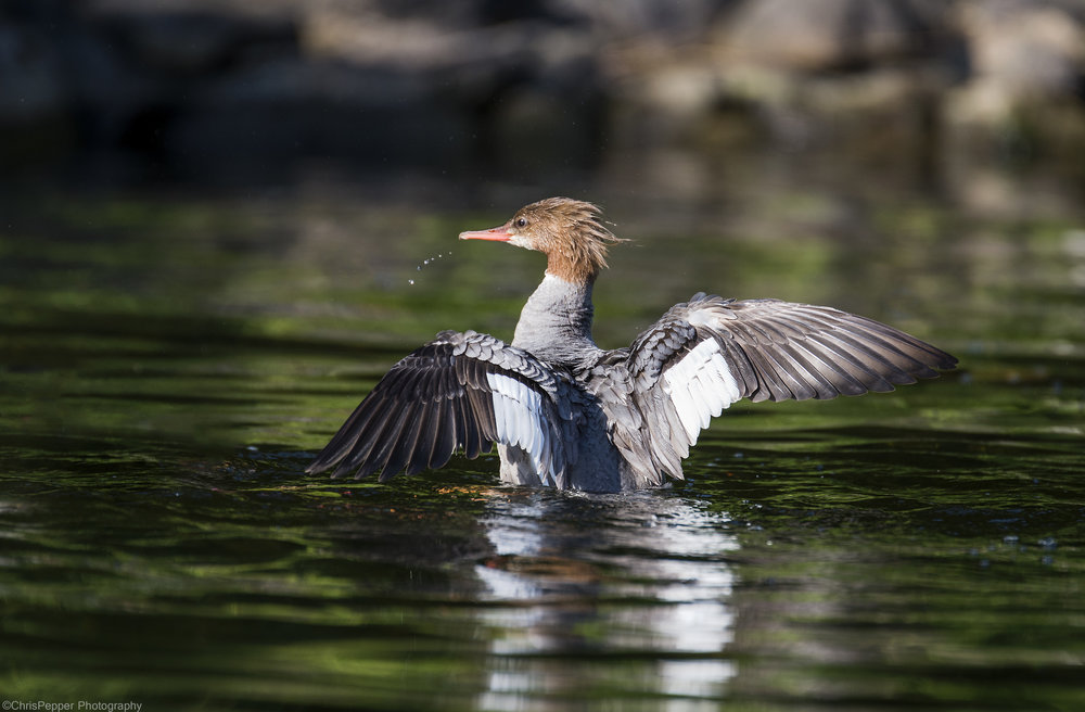 Feamale common merganser.jpg