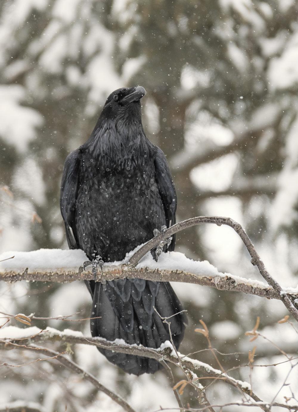 snowy raven.jpg