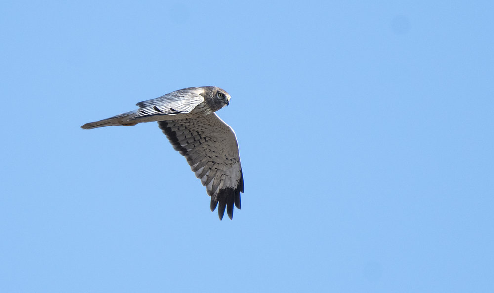 Northern harrier Sarnia.jpg