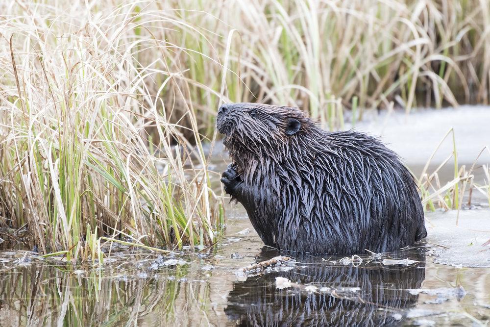 beaver praying.jpg
