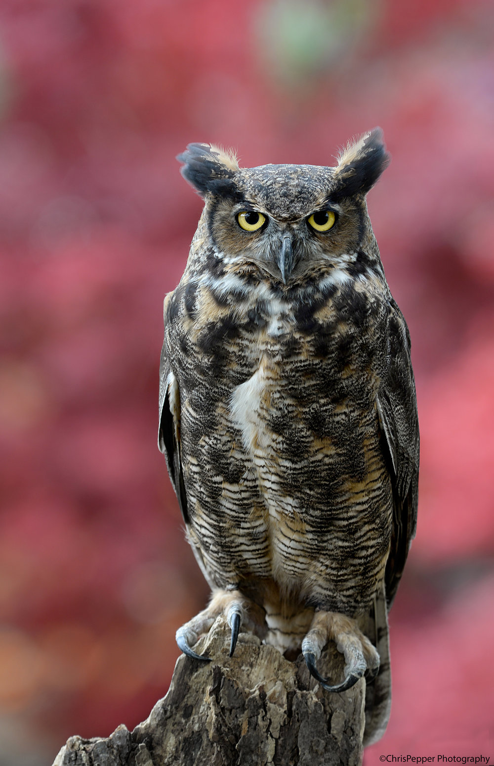 Fall great horned owl.jpg