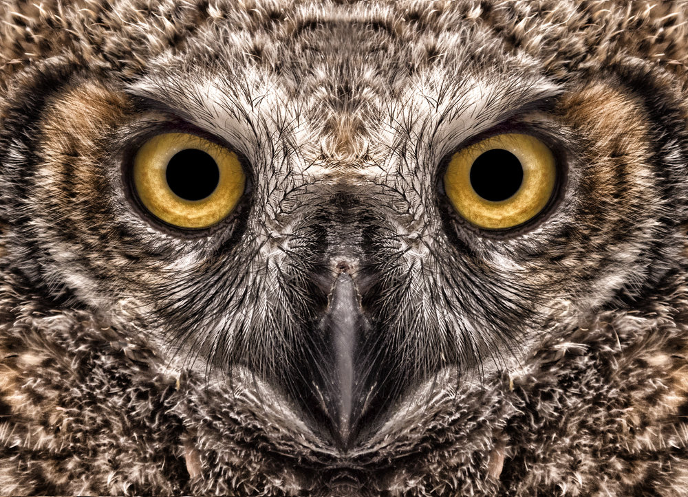 great horned close up GX8.jpg