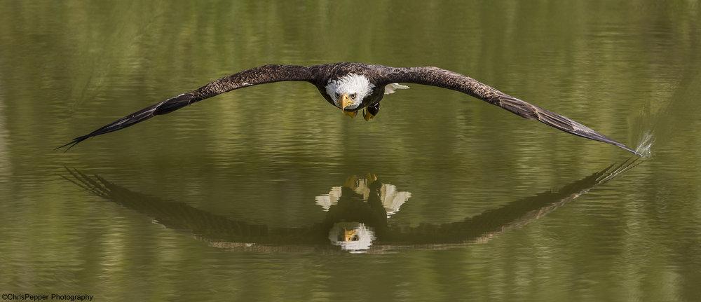 Left wing in the water.jpg