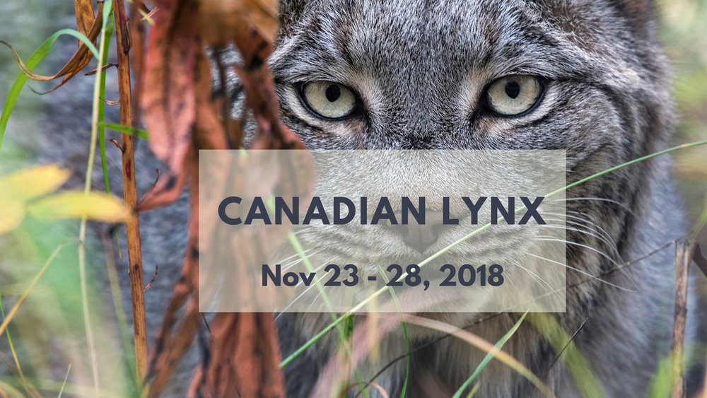 Canadian Lynx Photo Tour 2018 - North of 49 Photography