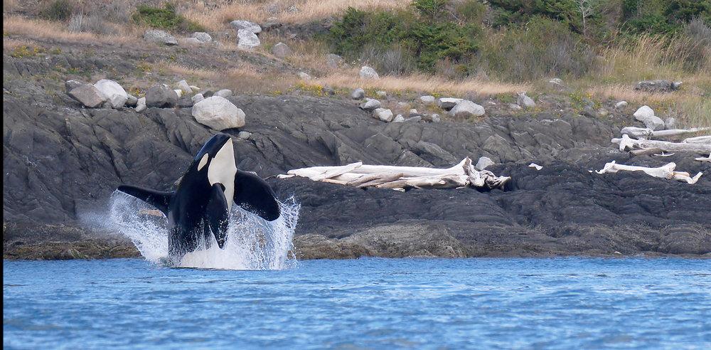 BC Orca Whale Photo Tour
