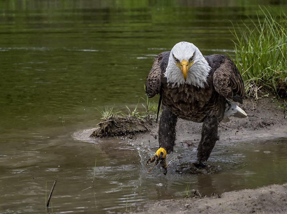 Bald Eagle Migration Photo Workshop
