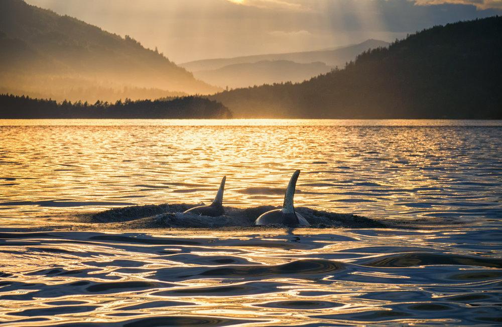 Golden Orcas of British Columbia