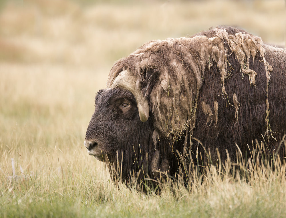 finished male muskox.jpg